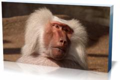 Постеры животные Бабуин
