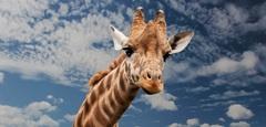 Постер в детскую Жираф