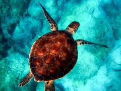 Картина  в гостиную Морская черепаха